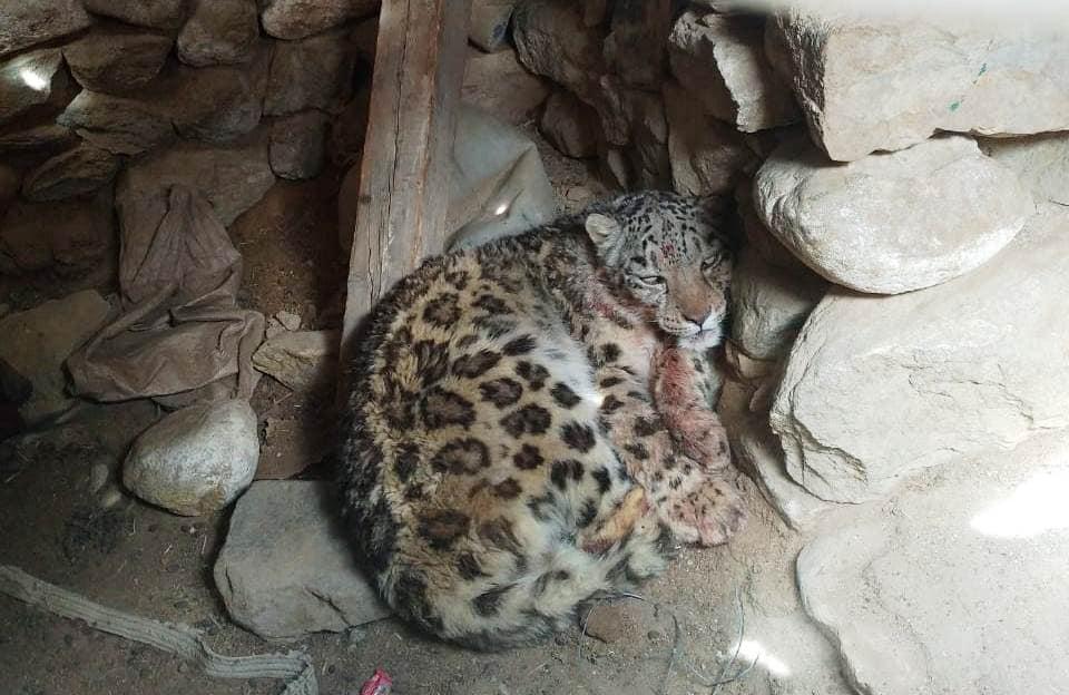 Snow Leopard In A Non Predator Proof Corral